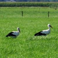 Striding Storks