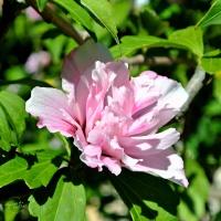 FOTD: Flower blush