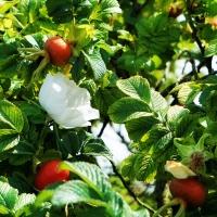 FOTD: Rosehips