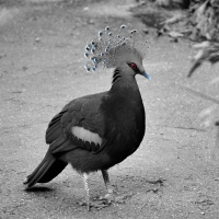 CBW: Crowned dove