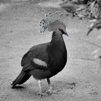 CBW: Red-eyed bird